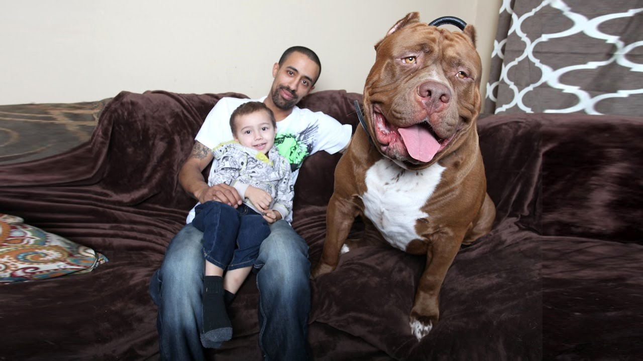 Meet 'HULK' – One of the Largest Pit Bulls in the World