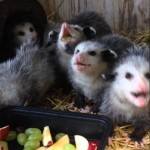 They Rescued Baby Opossums, But The Moment They Brought The Fruits…OMG!