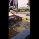 This Baby Duckling Was Stuck In The Pond, Then The Hippos Do THIS!