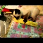 Super Noisy Cat Eats Corn Like There's No Tomorrow!